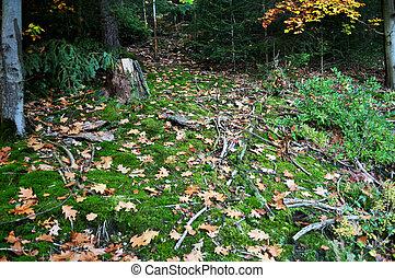 distrito, baden, musgos, bosque, negro, seebach, wurttemberg, o, schwarzwald, zurich, sphagnales, ciudad, suelo, alemania, musgo, selva