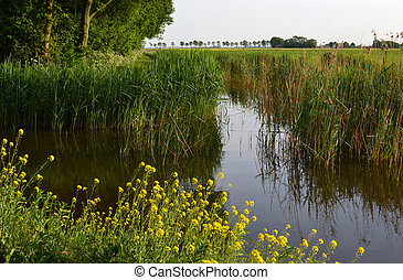 Ditch side with cane and rapeseed between meadows in Hazerswoude, Netherlands.