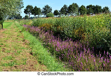 Ditch with flowering Lythrum salica - Landscape with a ditch...
