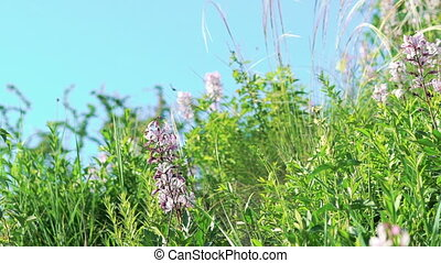 Dittany (Dictamnus albus) against blue sky background in...