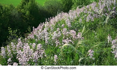 Dittany (Dictamnus albus) flowers on the hill in full HD