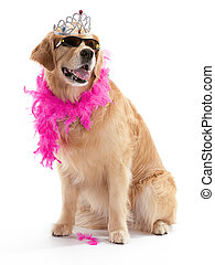 diva golden retriever