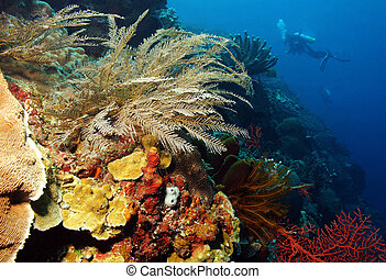 Diver along Coral Wall, Bunaken, Indonesia