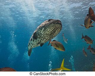 Diver and Giant Potato cod (Epinephelus tukula) Great...