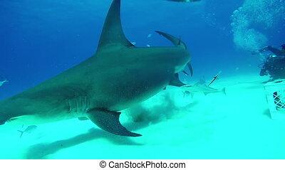 Diver feeds Hammerhead Shark underwater of Tiger Beach...