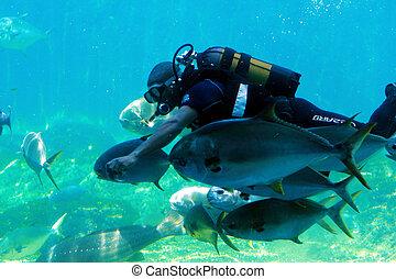 diver with fish - a scuba diver in tank feeding fish