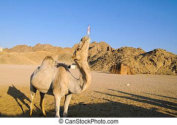 divertente, cammello