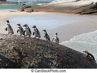 divertente, pinguini, climbing-spheniscus, demersus