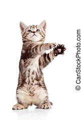 divertente, standing, giocoso, gattino, isolato, bianco,...