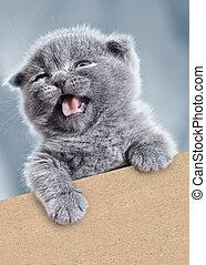 divertido, gatito, con, vacío, cardboard., mascota, retrato