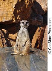 divertido,  Meerkat,  animal
