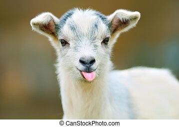divertido, pone, su, lengua, goat, afuera
