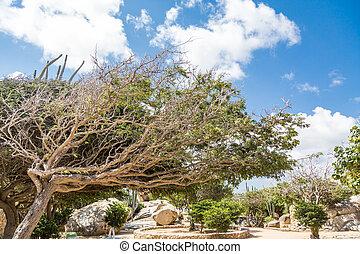 Divi Divi Tree in Aruba Rock Garden
