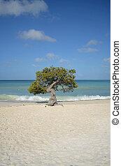 Divi Divi Tree on Eagle Beach