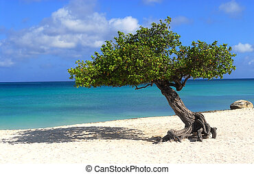 Divi Dive Tree on the shoreline of Eagle Beach in Aruba