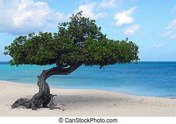 Divi Divi tree on Eagle Beach in Aruba