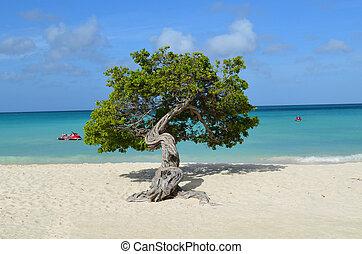 Divi Divi Tree Standing on Eagle Beach
