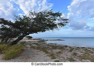 Divi tree leaning over the edge of the Aruban Coastline.