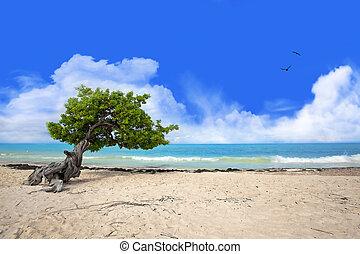 Divi tree on Eagle beach, Aruba , Caribbean