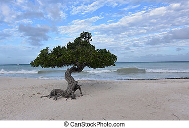 Divi Tree on Eagle Beach with Waves Crashing