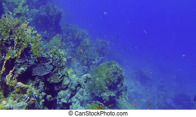 Diving down the outer reef in the red sea passing swarms of ...