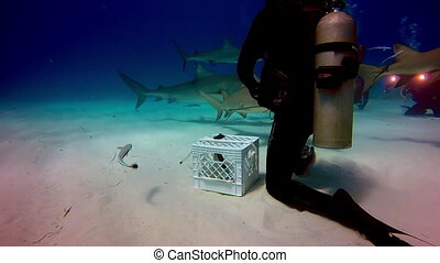 Diving with sharks underwater in Bahamas. Swimming in...