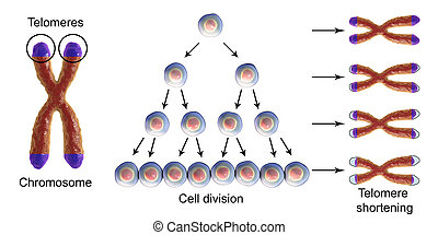 division, telomere, cellule, chaque, raccourcir, rond