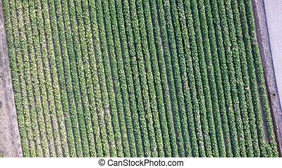 Lettuce field - Dizzy Aerial view of Lettuce field
