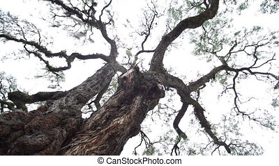 Dizzy Lost Spinning Rain Tree - Upwards shot of a large tree...