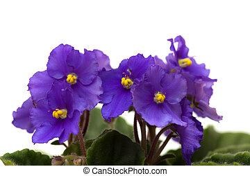 djup, purpur, afrikansk viol