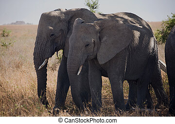 djuren, 054, elefant