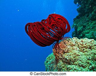 dlouho, červeň, tykadlo, dále, sea stvoření, dále, korál...