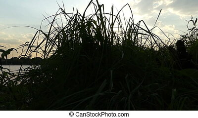 dnipro, slo-mo, riverbank, bulrush, vert, couvert, coucher soleil, wetland