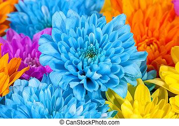 do góry., błękitny, barwny, chryzantema, kwiaty, pomarańcza, żółty, tło, zamknięcie, różowy