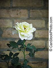 do góry szczelnie, żółty kwiat, róża