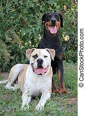 Doberman and American Bulldog - brown black doberman and...