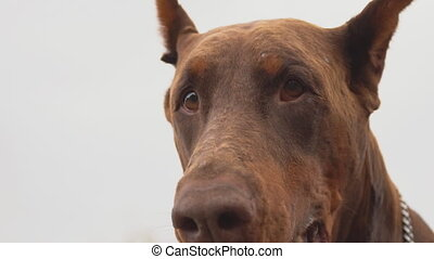 Doberman breed dog barking