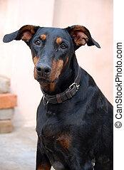 doberman, closeup, chien