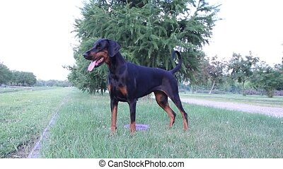 Doberman dog in park with toy
