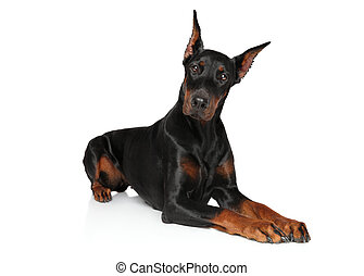 Doberman dog lying on a white background