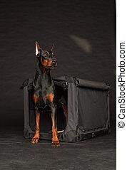 Doberman dog near by cage on black background