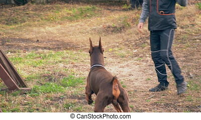 Doberman dog of brown color - Doberman dog jumps over the...