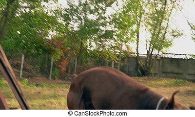 Doberman dog of brown color - Doberman dog jumps over the...