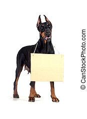 Doberman dog with clear cardboard