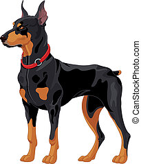 Doberman guard dog - Illustration of fully concentrated...