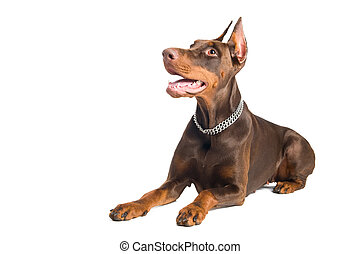 Portrait of lying purebred brown Doberman pinscher with open mouth isolated