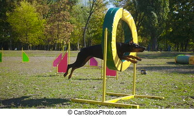 Doberman jumping at ring on agility training at the sunny...
