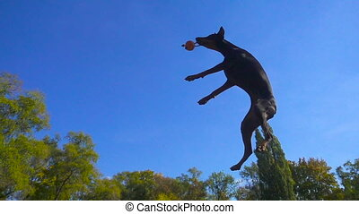 Doberman jumping to the ball against blue sky - Doberman...