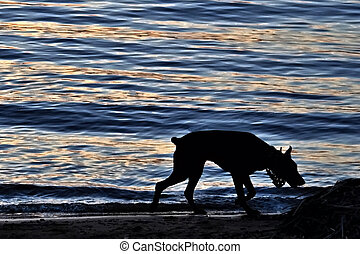 Doberman on the banks of the river