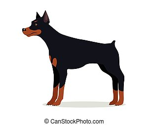 Doberman Pinscher, Dobermann, Doberman isolated on white....